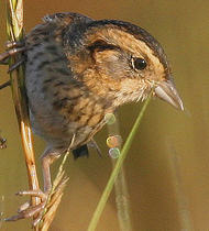sharptail saltmarsh sparrow